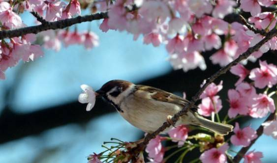 130916141310_sparrow_cherry_blossoms_624x351_afp
