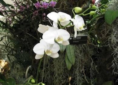 Phalaenopsis amabilis2