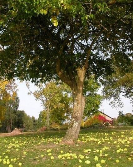 дерево маклюра