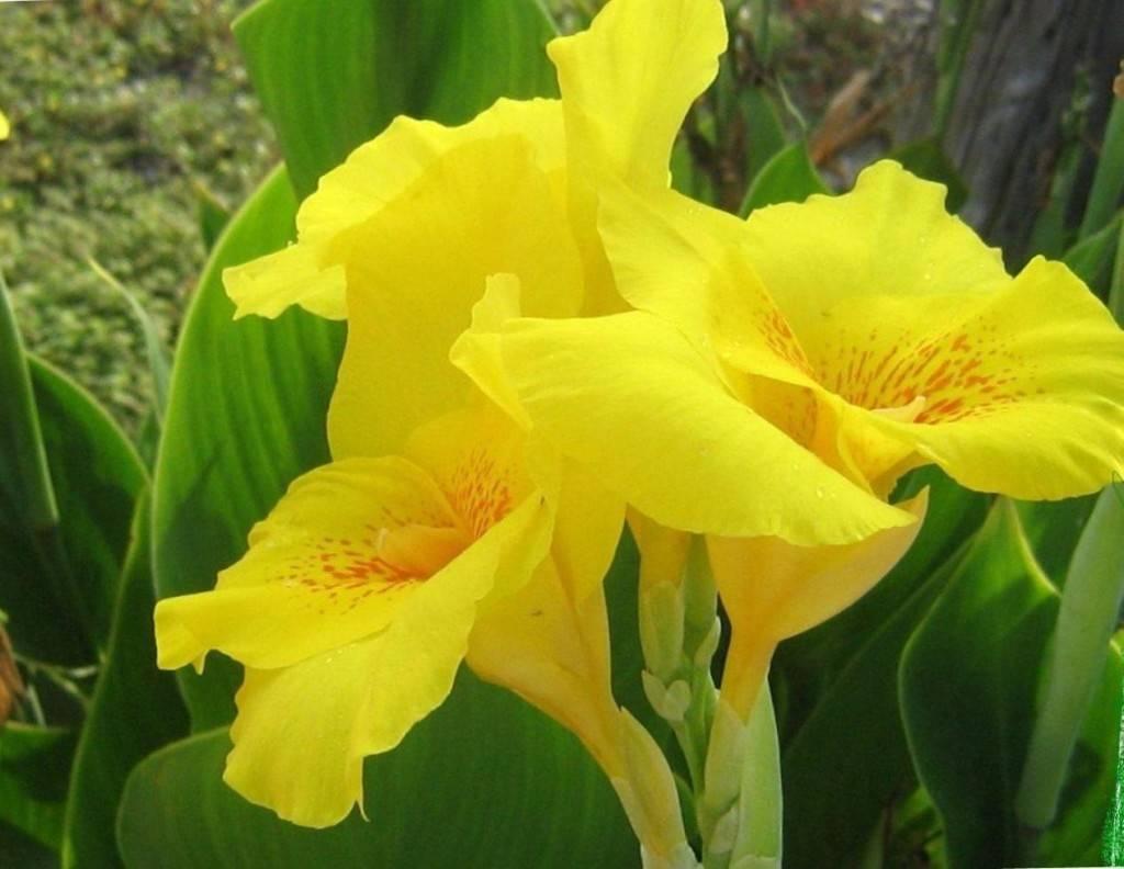 Копия yellow-canna-3061