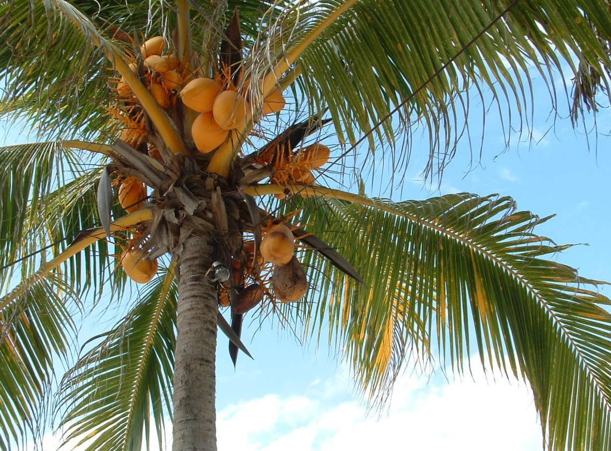 cocose