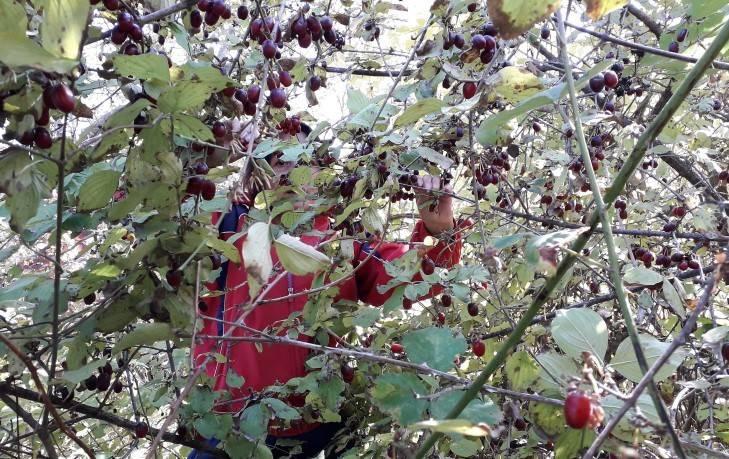 кизил дерево с плодами