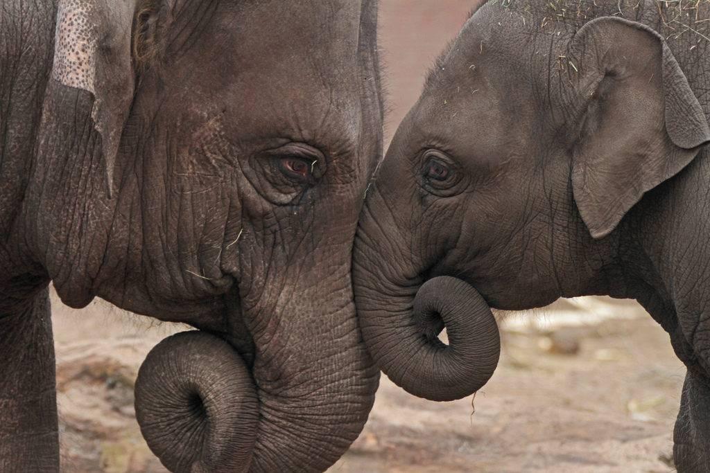 слоны самые заботливые