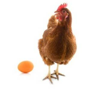 isolated chicken with egg