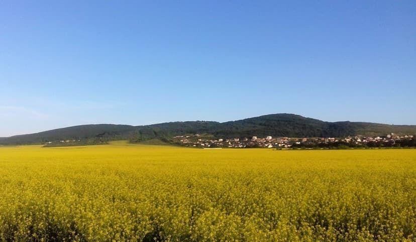 поле с рапсом Супсех