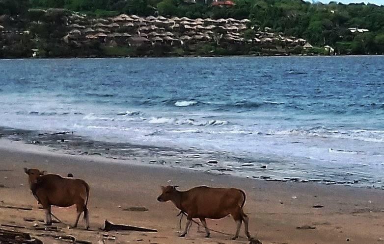 коровы Индонезии