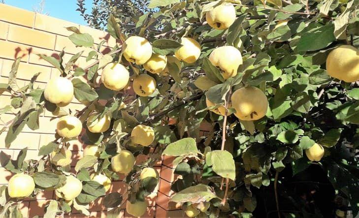 айва плоды фото