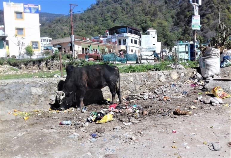 индия и коровы на улицах