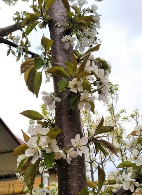 цветет черешня