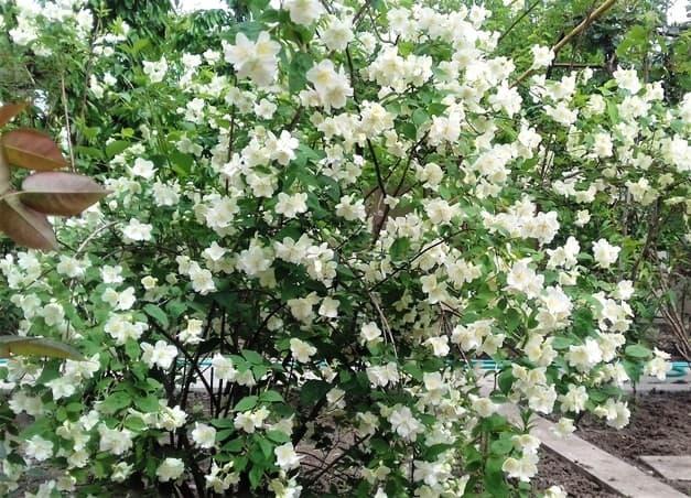 цветёт жасмин