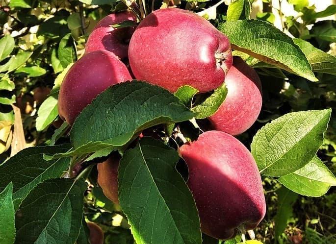 яблоко символ многих вещей